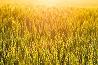 Wheat field at sunset - SMAF00771