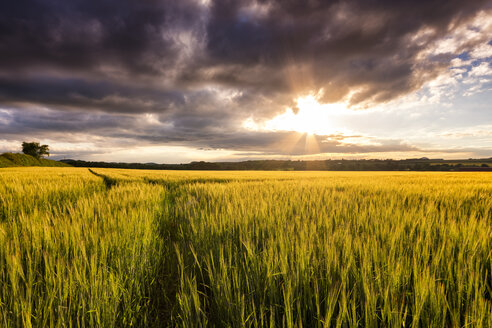 UK, Scotland, East Lothian, field of barley at sunset - SMAF00774