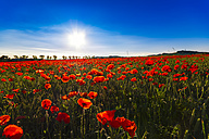 Poppy field at sunlight - SMAF00783