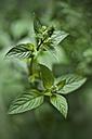 Organic pepper mint - CZF00294