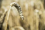Ear of wheat - FRF00534