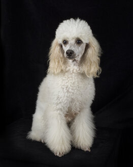 Portrait of white poodle sitting in front of black background - MJOF01384