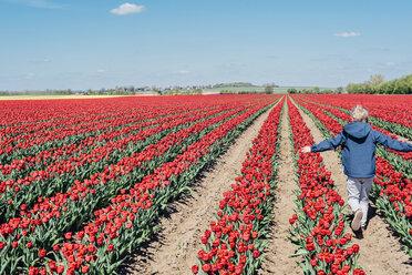 Back view of boy walking on tulip field - MJF02150