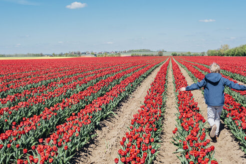 Back view of boy walking on tulip field - MJF02150