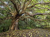 New Zealand, North Island, old deciduous Tree near Whangarei - STSF01290