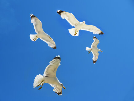 Four herring gull flying in front of blue sky - AMF05442