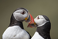 UK, Wales, two Atlantic puffins - MJOF01390