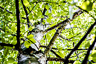 Birch tree with lush leaves, low angle view - LCF00021