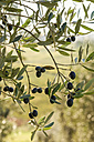 Italy, Tuscany, ripe olives on tree - CSTF01341
