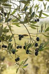 Italy, Tuscany, ripe olives on tree - CSTF01341