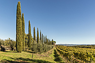 Italy, Tuscany, typical landscape with vineyard and cypresses - CSTF01350
