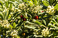 Fruit and blossoms of an strawberry tree - CSTF01369