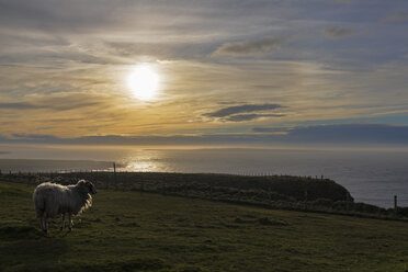 UK, Scotland, Caithness, Coast of Duncansby Head, sheep at sunset - FOF09287