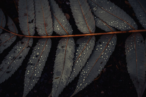 Leaf of Staghorn sumac, close-up - MJF02156