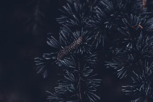Pine cones - MJF02159