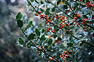 Holly in rain - MJF02162