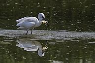 Little egret with prey - SIPF01646