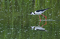 Black-winged stilt wading in water - SIPF01649