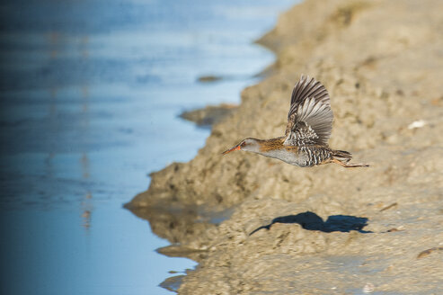 Flying water rail - SIPF01652