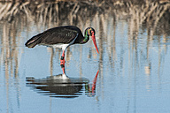 Black stork wading in water - SIPF01655