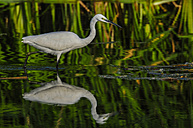 Little egret wading in water - SIPF01658