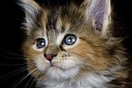 Portrait of Maine Coon kitten - MJOF01396