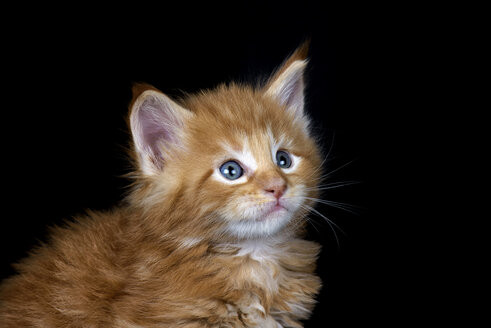 Ginger Maine Coon kitten in front of black background - MJOF01399