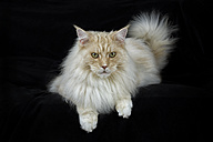 Maine Coon lying in front of black background - MJOF01403