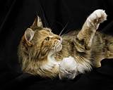 Maine Coon lying in front of black background reaching out paw - MJOF01406