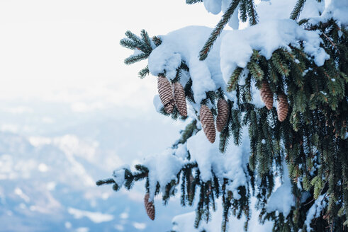 Germany, Berchtesgadener Land, Berchtesgaden National Park, snow-covered fir with cones, partial view - MJF02170