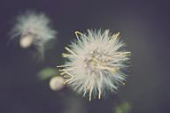 Dandelion - SIPF01675