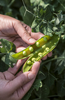 Woman's hand picking peas, close-up - DEGF00944