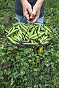 Woman's hands holding basket of harvested peapods, close-up - DEGF00947