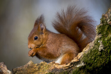 Portrait of eating Eurasian red squirrel - SIPF01680
