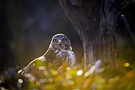 Portrait of Common buzzard - SIPF01683