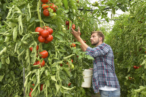 Gardener harvesting tomatoes in greenhouse - LYF00789