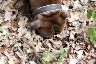 Olde English Bulldogge in forest sniffing in leaves - MFRF01012