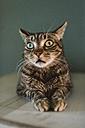 Portrait of staring cat - RAEF01937