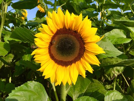 Sunflower - JTF00839