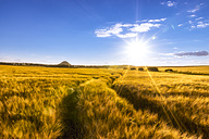 UK, Scotland, East Lothian, field of barley with tracks at sunset - SMAF00834