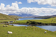 UK, Scotland, Inner Hebrides, Isle of Skye, Loch Harport, Gesto Bay, sheep on pasture - FOF09352
