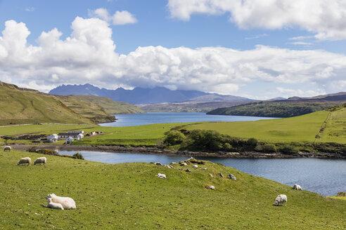 UK, Scotland, Inner Hebrides, Isle of Skye, Loch Harport, Gesto Bay, sheep on pasture - FOF09352