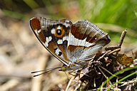 Purple Emperor - SIEF07506