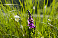 Small White flying to Purple Loosestrife - SIEF07509