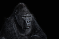 Portrait of gorilla in front of black background - MJOF01414