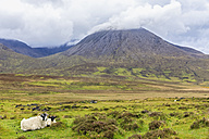 UK, Scotland, Inner Hebrides, Isle of Skye, mountain Beinn na Caillich and ewe with young sheep - FOF09385
