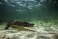 Mexico, American crocodile under water - GNF01408
