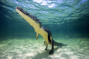 Mexico, American crocodile under water - GNF01414