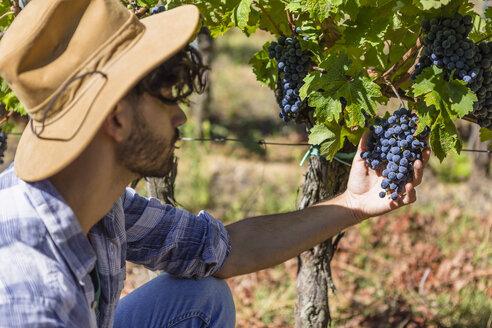Man examining grapes on vine - MGIF00116