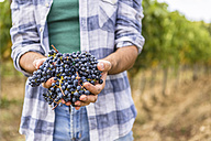 Close-up of man holding harvested grapes - MGIF00125